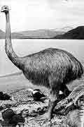 New Zealand Scientists Find out More About Moa