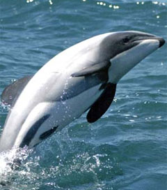 New Zealand Dolphin Faces Extinction