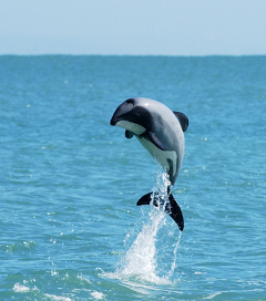 Race to Save Maui's Dolphin