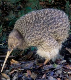 Flying Australian Kiwis Could Put Paid to Moa Ancestry