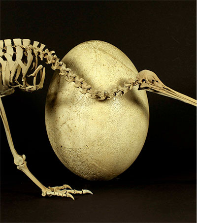 Kiwi's Ancestors Now Said to Hail from Madagascar