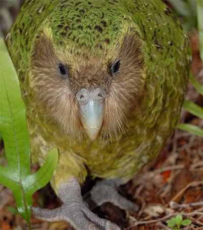 Sirocco the Kakapo a Great Conservationist Spokesbird