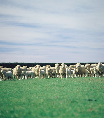 Sheep Numbers Fall to Their Lowest for 75 Years