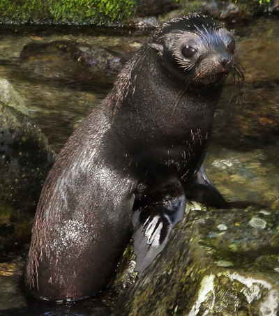 NZ Baby Seals Use Inland Waterfall as Creche