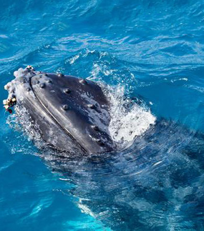 Kiwis Save Baby Humpback Whale