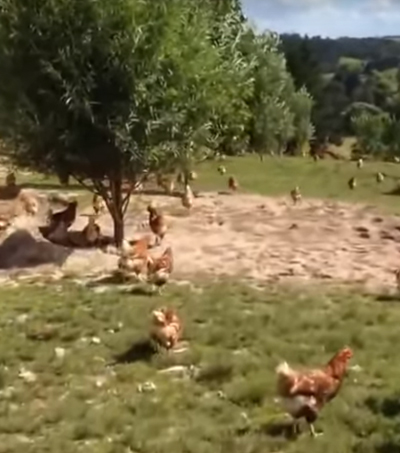 NZ Happy Chickens Farm Video Goes Viral