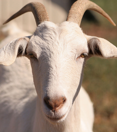 Goat Milk Promises Cheap Cancer Treatments: New Zealand Scientists