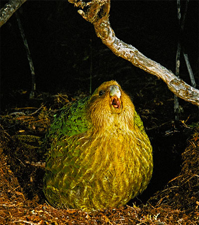 Kakapo Conservationists Celebrate Breeding Success