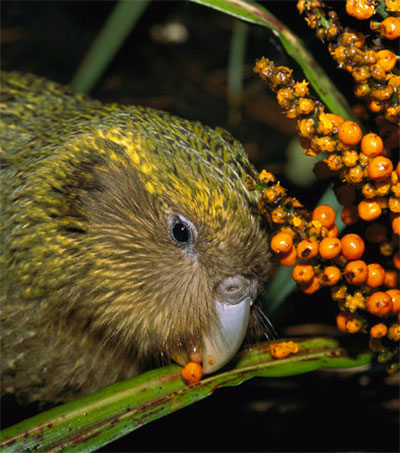 Kakapo May Need Parasites to Survive