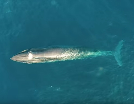 Rare Drone Footage of Whales Off the Coast of Auckland