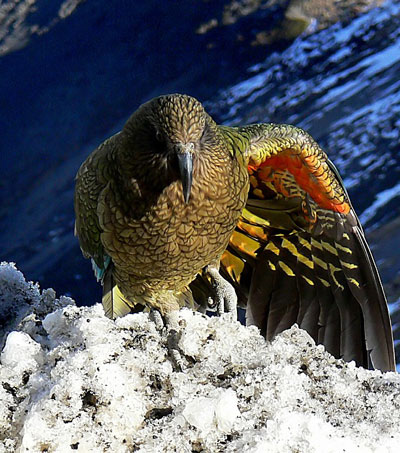 The World's Only Alpine Parrot Faces Extinction