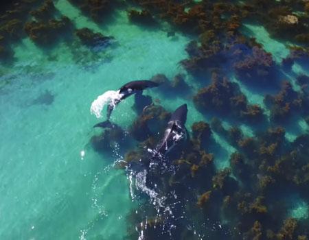 Orca Hunting Stingray