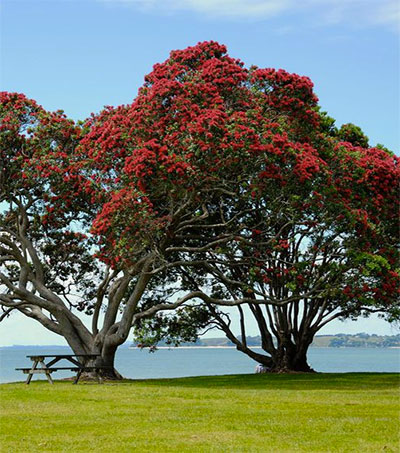 Pohutukawa May Have Roots in Australia