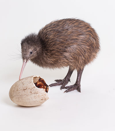 Brown Kiwi Hatches at Zoo in Virginia