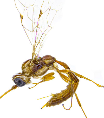New Zealand Wasp Named After Harry Potter Villain