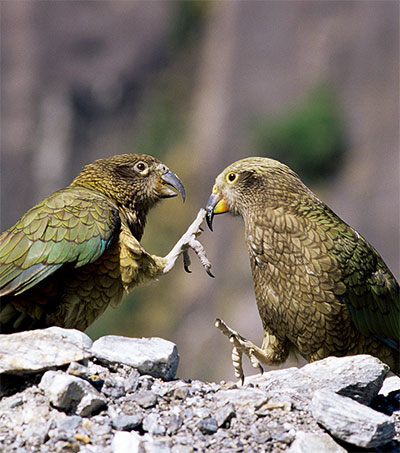 Laughing Kea a Science Story of the Year