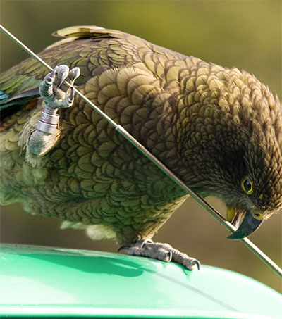 Experts Develop Roadside Gym for Endangered Kea