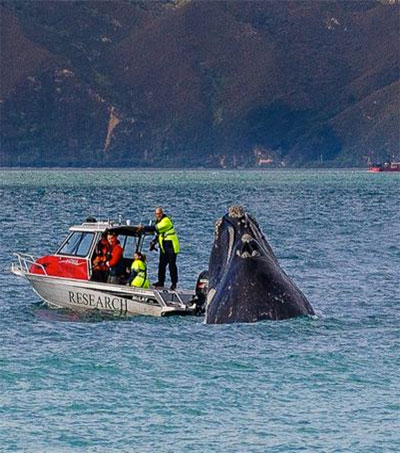 Frolicking Right Whale Charms Wellingtonians