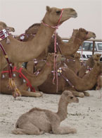 Camel spotting in UAE