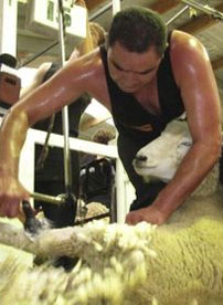 Wimbledon Of Shearing