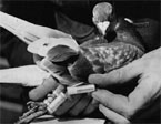 NZ Scientists Solve Pigeon Puzzle