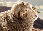 In Sheep Code