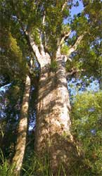 Save the Kauri Part 2