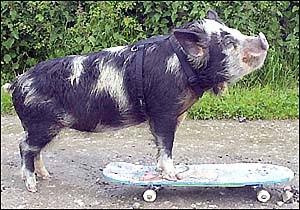 Boar-wheel Drive: Kiwi Kune Kune Goes Skateboarding