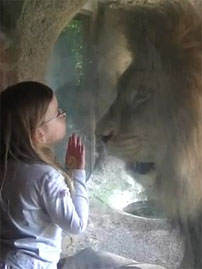 Hungry Lion Fascinates Toddler