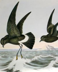 Return of the Storm Petrel