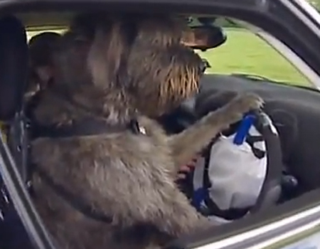 Dog Drives Car on its Own