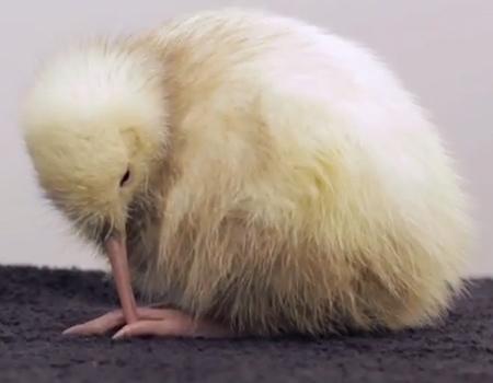 Manukura: The White Kiwi