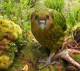 New Zealanders Fight to Pull Back Kakapo from Extinction