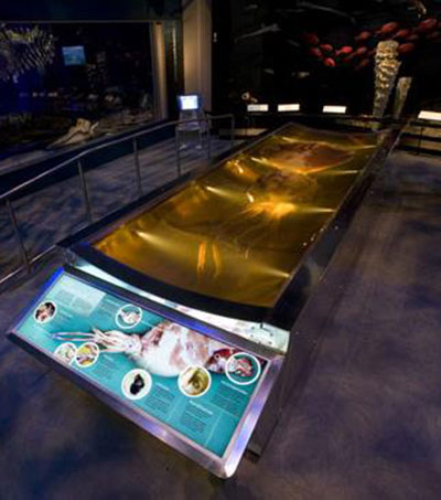Second Colossal Squid for NZ Museum