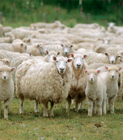 Scientists Closing to Breeding Eco-friendly Sheep