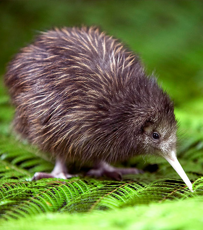NZ Government Pledges Millions to save the Kiwi
