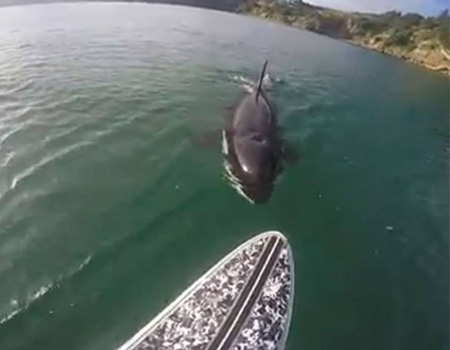 Stand-up Paddle Boarder Encounters Orca