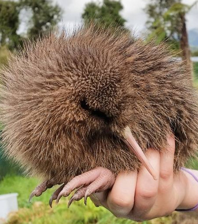 """Rare Baby Kiwi Named Nutter – """"a Ball of Fluff With a Beak"""""""