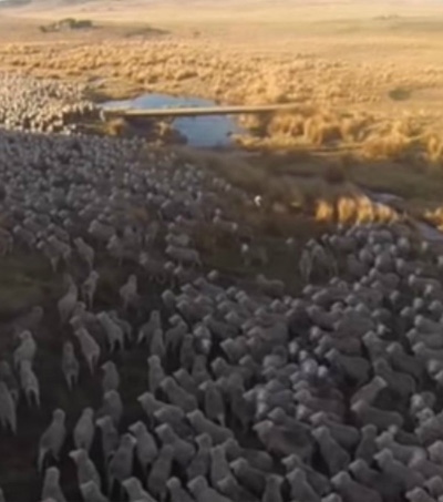 Farmer Uses Drone to Herd Flock of Sheep