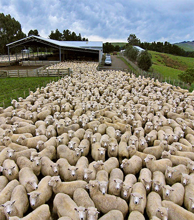 New Kind of Shepherd Rules over Hawkes Bay Sheep Station