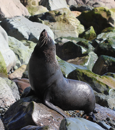 New Zealand Fur Seal Population Increasing