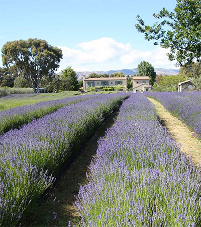 New Zealand's Lavender Farms Inspiration for Novel
