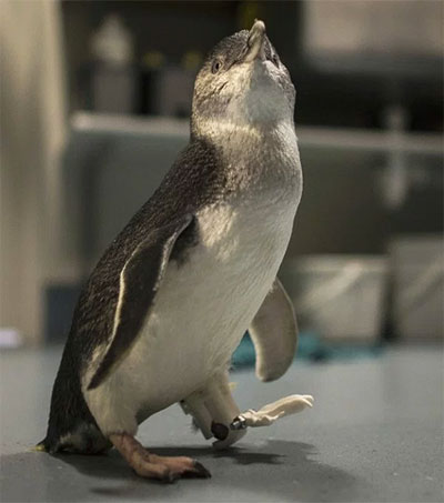 Bagpipes the Penguin Gets 3D Printed Foot
