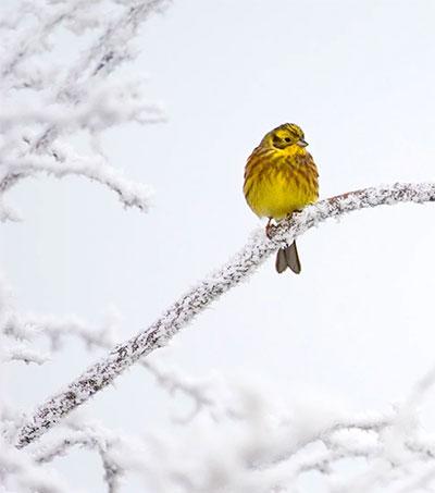Lost British Birdsong Discovered in NZ Birds