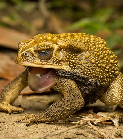 Biologist Nicholas Wu Studies a Maligned Toad