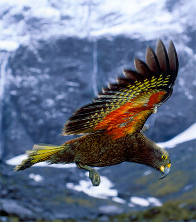 Kea Soars to Bird of the Year Victory