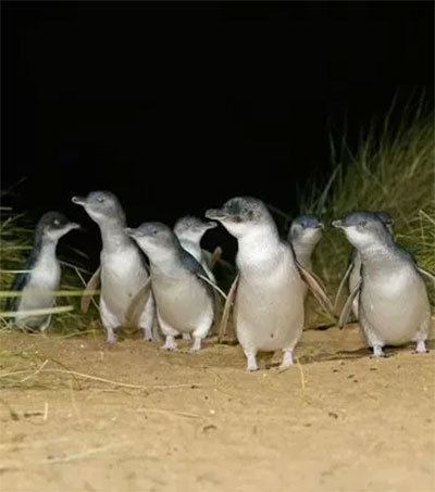 See the World's Smallest Penguins in Oamaru