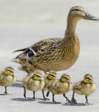 Aucklanders Share SH1 with Family of Ducks