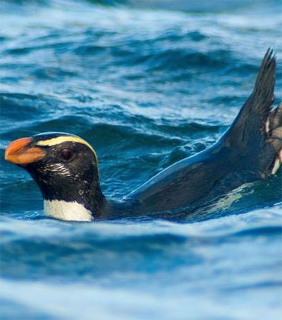 Fiordland Penguins Make Mammoth Migrations