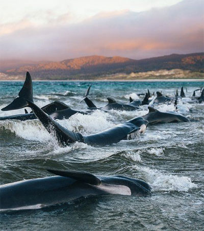 Why Are Whales Stranding in New Zealand?
